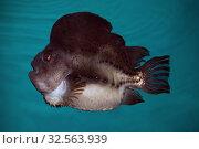 Купить «Пинагор или рыба-воробей (Cyclopterus lumpus),», фото № 32563939, снято 1 декабря 2019 г. (c) Татьяна Белова / Фотобанк Лори
