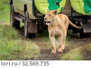 Lioness walks along muddy track past jeep. Стоковое фото, фотограф Zoonar.com/nwd / easy Fotostock / Фотобанк Лори