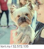 Купить «Russia, Samara, May 2017: A Yorkshire Terrier dog in the hands of a beautiful lady.», фото № 32572135, снято 27 мая 2017 г. (c) Акиньшин Владимир / Фотобанк Лори