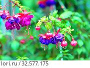 Купить «Flowering purple fuchsia.», фото № 32577175, снято 17 июня 2017 г. (c) Акиньшин Владимир / Фотобанк Лори
