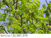 Сережки и листья маньчжурского ореха (лат. Juglans mandshurica) солнечным весенним днем. Стоковое фото, фотограф Елена Коромыслова / Фотобанк Лори