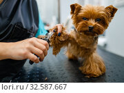 Groomer with clippers cuts the claws of cute dog. Стоковое фото, фотограф Tryapitsyn Sergiy / Фотобанк Лори