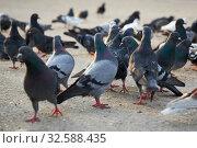 Купить «A crowd of pigeons fighting for a piece of bread», фото № 32588435, снято 30 апреля 2019 г. (c) Олег Белов / Фотобанк Лори