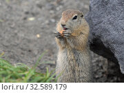 Cute Arctic Ground Squirrel eating cracker holding food in paws. Expression curious wild animal of genus of medium sized rodents of squirrel family. Стоковое фото, фотограф А. А. Пирагис / Фотобанк Лори