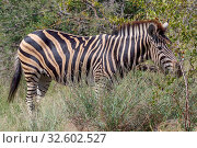 A zebra in the Kruger National Park South Africa. Стоковое фото, фотограф Zoonar.com/Matthieu Gallett / easy Fotostock / Фотобанк Лори