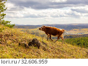 Купить «in late autumn, a young cow walks along the slopes of the mountains of the Southern Urals, the Republic of Bashkortostan.», фото № 32606959, снято 19 сентября 2019 г. (c) Акиньшин Владимир / Фотобанк Лори