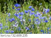 Cornflower / Centaurea cyanus. Стоковое фото, фотограф Alain Kubacsi / age Fotostock / Фотобанк Лори