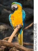 Купить «Сидящий сине-жёлтый ара (Ara ararauna) крупным планом», фото № 32615655, снято 20 декабря 2018 г. (c) Виктор Карасев / Фотобанк Лори