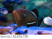 Купить «Спинорог-мелихт индийский Indian triggerfish or Melichthys indicus», фото № 32616735, снято 10 декабря 2019 г. (c) Татьяна Белова / Фотобанк Лори