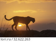 Cheetah (Acinonyx jubatus), occurs in Africa, adult at sunset, captive. Стоковое фото, фотограф Morales / age Fotostock / Фотобанк Лори