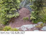 Купить «Муравейник (муравьиное гнездо) под елями в лесу», фото № 32628327, снято 23 августа 2019 г. (c) Наталья Осипова / Фотобанк Лори