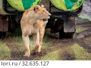 Lioness on muddy grass looks past jeep. Стоковое фото, фотограф Zoonar.com/nwd / easy Fotostock / Фотобанк Лори
