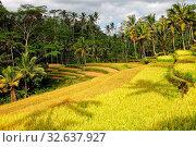 Beautifiul rice paddies at bali indonesia. Стоковое фото, фотограф Zoonar.com/matthieu gallet / easy Fotostock / Фотобанк Лори