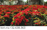 Poinsettia. Red plantation of Christmas star flowers cultivated in greenhouse. Стоковое видео, видеограф Яков Филимонов / Фотобанк Лори