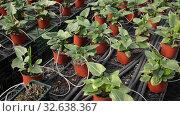 Купить «Plantation of asplenium antiquum in greenhouse», видеоролик № 32638367, снято 29 октября 2019 г. (c) Яков Филимонов / Фотобанк Лори