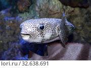 Купить «Иглобрюх или рыба фугу (Tetraodontidae)», фото № 32638691, снято 10 декабря 2019 г. (c) Татьяна Белова / Фотобанк Лори