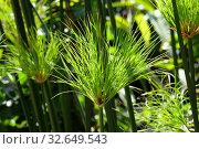 Растение Папирус в солнечных лучах (лат. Cyperus papyrus) Стоковое фото, фотограф Irina Opachevsky / Фотобанк Лори
