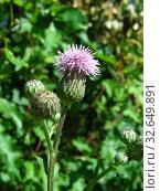 Бодяк розовый, или осот полевой (лат. Cirsium arvense) Стоковое фото, фотограф lana1501 / Фотобанк Лори