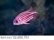 Коронованная рыба-белка (Sargocentron diadema) Стоковое фото, фотограф Татьяна Белова / Фотобанк Лори