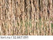 Купить «Background of yellow reed with selective focus in early spring», фото № 32667091, снято 5 апреля 2020 г. (c) easy Fotostock / Фотобанк Лори