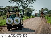 Four Masai giraffe block jeep on road. Стоковое фото, фотограф Zoonar.com/nwd / easy Fotostock / Фотобанк Лори