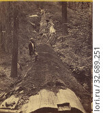 Купить «Hercules prostrate, 325 ft. long, 97 ft. in circumference. Mammoth Trees, California, Edward and Henry T. Anthony & Co. (American, 1862 - 1902), about 1869–1873, Albumen silver print», фото № 32689251, снято 17 июня 2019 г. (c) age Fotostock / Фотобанк Лори