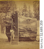 Купить «Section of the Original Big Tree, 92 ft. in circumference. Mammoth Trees, California, Edward and Henry T. Anthony & Co. (American, 1862 - 1902), about 1869–1873, Albumen silver print», фото № 32689359, снято 17 июня 2019 г. (c) age Fotostock / Фотобанк Лори
