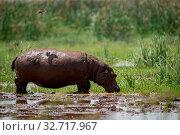 Bird casts shadow on hippopotamus in marsh. Стоковое фото, фотограф Zoonar.com/nwd / easy Fotostock / Фотобанк Лори