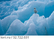 Купить «Ivory gull (Pagophila eburnea) stands on ice, Spitsbergen, Svalbard, Norway. July. A medium-sized gull particularly noted for its striking pure white adult...», фото № 32722031, снято 20 июля 2019 г. (c) age Fotostock / Фотобанк Лори
