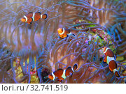Купить «Рыбки-клоуны или амфиприоны (Amphiprioninae, Amphiprion) в актинии», фото № 32741519, снято 15 декабря 2019 г. (c) Татьяна Белова / Фотобанк Лори
