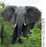 Купить «Elephant bull at the camera», фото № 32755875, снято 5 декабря 2009 г. (c) Олег Елагин / Фотобанк Лори