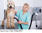Купить «hairdresser professional dries hair by fen dog fur Afghan hound dog in hairdresser for animal», фото № 32758051, снято 17 октября 2017 г. (c) Татьяна Яцевич / Фотобанк Лори