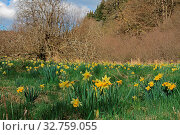 Gelbe Narzisse, Narcissus pseudonarcissus, Wild daffodil, Lent lily. Стоковое фото, фотограф Zoonar.com/Gerd Herrmann / easy Fotostock / Фотобанк Лори