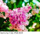 Купить «Pink lilac flowering in the garden. Shallow depth of field. Selective focus.», фото № 32759931, снято 29 февраля 2020 г. (c) easy Fotostock / Фотобанк Лори