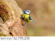 Blue Tit (Parus caeruleus) perched on a branch. Стоковое фото, фотограф Zoonar.com/christopher smith / easy Fotostock / Фотобанк Лори