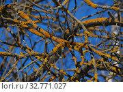 Купить «Желтый лишайник Ксантория постенная, или настенная, или стенная золотнянка (лат. Xanthoria parietina)», эксклюзивное фото № 32771027, снято 17 марта 2011 г. (c) lana1501 / Фотобанк Лори