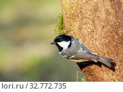 Coal Tit (Periparus ater) perched on a branch. Стоковое фото, фотограф Zoonar.com/christopher smith / easy Fotostock / Фотобанк Лори