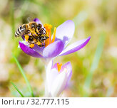 Купить «Flying honeybee pollinating a purple crocus flower in spring», фото № 32777115, снято 5 июля 2020 г. (c) easy Fotostock / Фотобанк Лори