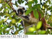 Купить «Zanzibar red colobus in Jozani forest. Tanzania, Africa», фото № 32781235, снято 6 октября 2019 г. (c) Знаменский Олег / Фотобанк Лори