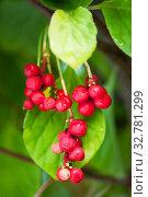Купить «Schisandra chinensis vine with ripe fruits», фото № 32781299, снято 1 сентября 2019 г. (c) Короленко Елена / Фотобанк Лори