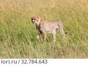 Young cheetah at the masai mara national park. Стоковое фото, фотограф Zoonar.com/matthieu gallet / easy Fotostock / Фотобанк Лори