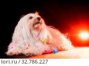 Ein kleiner weißer Havaneser liegt auf dem Studio Boden und schaut leicht nach oben, der Hund hat eine Lichterkette um den Hals und im Hintergrund wurde... Стоковое фото, фотограф Zoonar.com/Ralf Bitzer / easy Fotostock / Фотобанк Лори