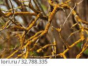 Купить «Желтый лишайник Ксантория постенная, или настенная, или стенная золотнянка (Xanthoria parietina (L.) Belt)», эксклюзивное фото № 32788335, снято 4 мая 2010 г. (c) lana1501 / Фотобанк Лори