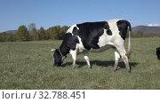 Купить «Black and white cows grazing in farm field, eat green grass on background of forest and blue sky in sunny weather», видеоролик № 32788451, снято 19 сентября 2019 г. (c) А. А. Пирагис / Фотобанк Лори