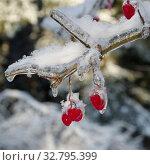 Купить «Обледеневшие ягоды калины в зимнем лесу», фото № 32795399, снято 15 ноября 2016 г. (c) Елена Коромыслова / Фотобанк Лори