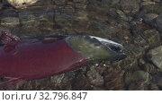 Купить «Wild red salmon fish Pacific Salmon swimming in shallow water in river, breathes heavily. Slow motion, close-up view», видеоролик № 32796847, снято 28 октября 2019 г. (c) А. А. Пирагис / Фотобанк Лори