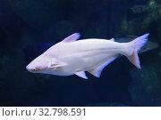 Акулий сом или пангасиус альбинос - Pangasius hypophthalmus albino. Стоковое фото, фотограф Татьяна Белова / Фотобанк Лори