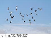 Lapwing (Vanellus vanellus) in flight with blue sky. Стоковое фото, фотограф Zoonar.com/christopher smith / easy Fotostock / Фотобанк Лори