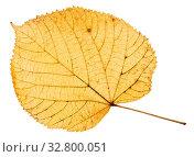 Купить «Back side of yellow autumn leaf of linden tree isolated on white background», фото № 32800051, снято 4 августа 2020 г. (c) easy Fotostock / Фотобанк Лори