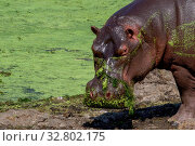An hippo in the Kruger National Park South Africa. Стоковое фото, фотограф Zoonar.com/Matthieu Gallett / easy Fotostock / Фотобанк Лори